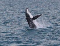 Rompendo a baleia Foto de Stock Royalty Free