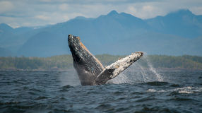 Rompendo a baleia de corcunda, ilha de Vancôver, Canadá Fotografia de Stock