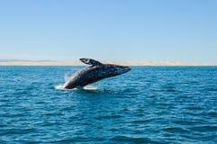 Rompendo baleias cinzentas (robustus do Eschrichtius) Fotos de Stock