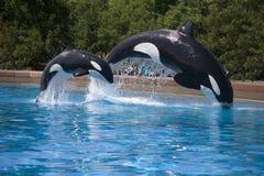 Rompendo baleias da orca imagens de stock