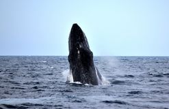 Rompendo o preto da baleia de corcunda e bonito Imagem de Stock
