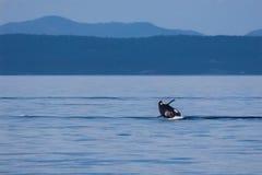 Rompendo a orca fotos de stock