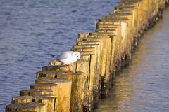 Rompeolas de madera en el mar Báltico Imagen de archivo