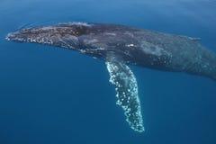 Rompimento da baleia Fotos de Stock Royalty Free