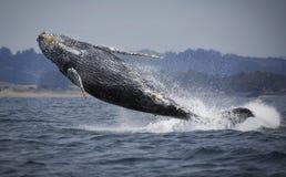 Rompimento da baleia de Humpback imagens de stock royalty free