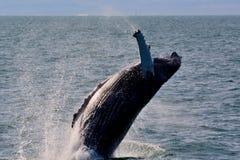 Rompimento da baleia de Humpback Fotos de Stock Royalty Free