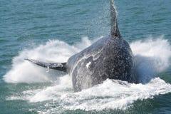 Rompimento do sul da baleia direita Fotografia de Stock Royalty Free