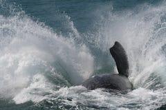 Rompimento do sul da baleia direita Imagem de Stock Royalty Free