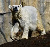 A Romping Polar Bear. This is an early Spring picture of a Polar Bear romping in its compound at the Lincoln Park Zoo located in Chicago, Illinois in Cook County stock photography