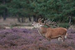 Ronco de los ciervos rojos Imagen de archivo libre de regalías