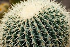 Rond gevormde cactus onder rotsen Stock Foto's