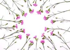 Rond kader van gevoelige bloemen De lente roze bloemen op witte achtergrond Stock Foto