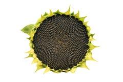 Rond rijp zonnebloemhoogtepunt van zwarte zaden op een witte achtergrond stock foto's