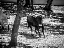 RONDA ANDALUCIA/SPAIN - MAJ 8: Tjurar som kör på en lantgård nära Ro royaltyfri bild