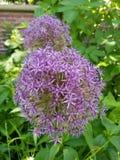 Ronde bloem Royalty-vrije Stock Afbeeldingen