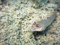 Ronde goby dichte omhoog onderwater Ronde goby zoet watervissen Royalty-vrije Stock Foto's