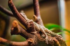 Ronde Leguaan die op boom, brightful beeld kruipen stock fotografie