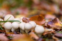 Ronde witte paddestoel of paddestoel in de de herfstbladeren Stock Foto's