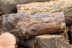 Rondin de scarabée d'écorce Image libre de droits