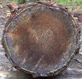 Rondin en bois d'arbre d'extrémité Images libres de droits