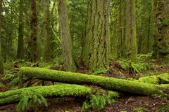 Rondins du nord-ouest Pacifiques d'arbre de forêt et de conifère photographie stock