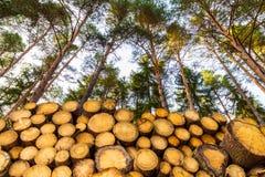 Rondins en bois empilés sous les cimes d'arbre de pin et le ciel bleu photos libres de droits
