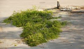 Rondins et branches d'arbre de bouleau Photos libres de droits