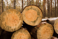 Rondins sciés empilés dans la forêt Photographie stock libre de droits