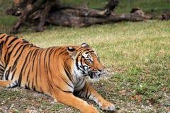 Rondsnuffelende tijger Royalty-vrije Stock Afbeeldingen