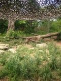 Rondsnuffelende Jachtluipaard Royalty-vrije Stock Afbeelding