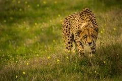 Rondsnuffelende Jachtluipaard royalty-vrije stock foto's
