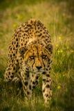 Rondsnuffelende Jachtluipaard royalty-vrije stock fotografie