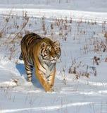 Rondsnuffelende Siberische Tijger Stock Afbeeldingen