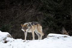 Rondsnuffelende wolf Royalty-vrije Stock Foto's