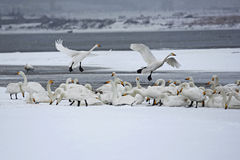 Rongcheng swan lake Stock Images
