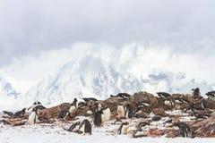Ronge海岛企鹅群,南极洲 库存图片