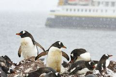 Ronge Island, Antarctica rookery with cruise ship Stock Images