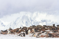 Ronge Island penguin rookery, Antarctica Stock Images