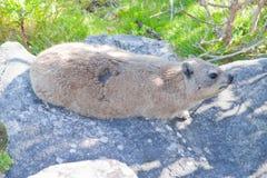 Rongeur animal dangereux à Capetown photos stock