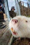 Rongeur de castor de Coypu Image libre de droits