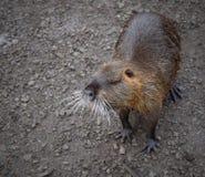 Rongeur de rivière de Coypu petit rare sur la fourrure Image libre de droits