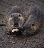 Rongeur de rivière de Coypu petit rare sur la fourrure Photographie stock