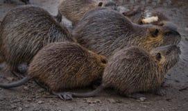 Rongeur de rivière de Coypu petit rare sur la fourrure Images libres de droits