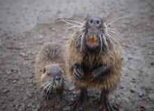 Rongeur de rivière de Coypu petit rare sur la fourrure Photo libre de droits