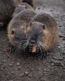Rongeur de rivière de Coypu petit rare sur la fourrure Photos libres de droits