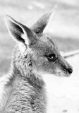Roo Stock Photography