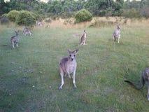 Roo Royaltyfria Bilder
