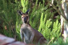 Roo in the back yard. Kangaroos in the outback Stock Images