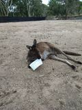 Roo holding phamplet Royalty Free Stock Image