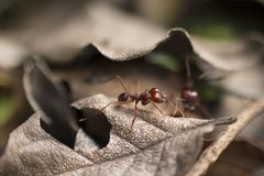 Rood Ant Closeup Macro Photo stock foto's